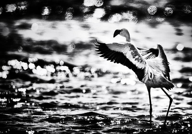 Jonny Ullström - Ensam Flamingo i Walvis Bay
