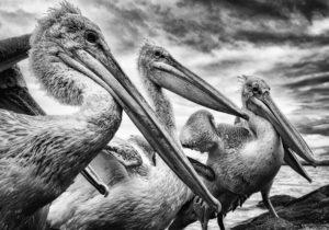 Jonny Ullström - Krushuvade pelikaner