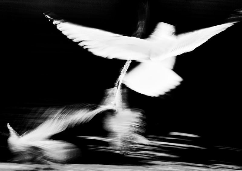 Jonny Ullström - Måsfåglar vid vattenytan