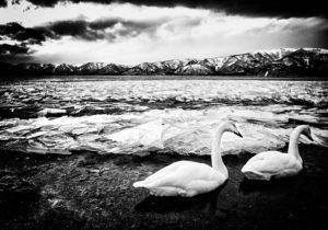 Jonny Ullström - Svanar bland isflak vid Lake Kussharo